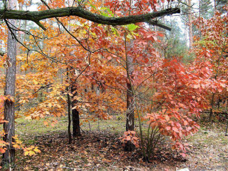 las Głosków