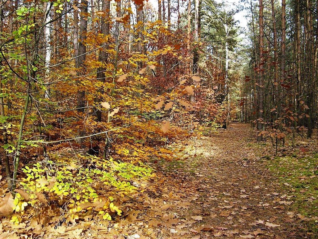 leśna, jesienna rdza