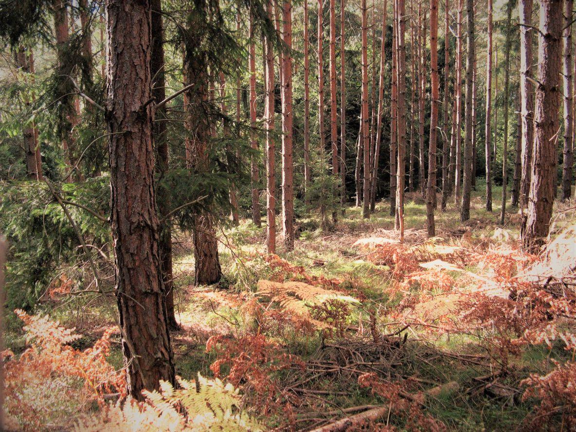 rdzewiejące paprocie leśne