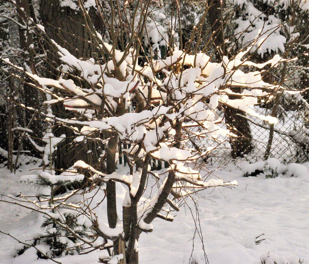 krzaki, trawy w śniegu